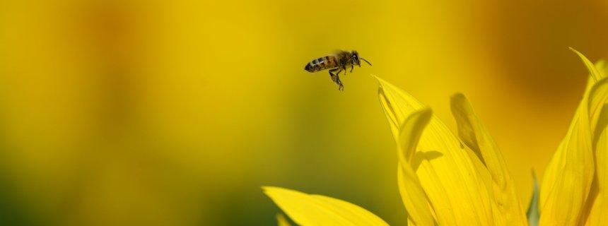 Eine Biene fliegt am 17.07.2015 bei sommerlichen Temperaturen auf einem Feld nahe Güterfelde (Brandenburg) zur Blüte einer Sonnenblume. Nach einem Tag mit großer Hitze folgen zum Wochenende Unwetter mit Hagel und Sturm. Foto: Ralf Hirschberger/dpa +++(c) dpa - Bildfunk+++
